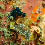 Nudibranchs - Cape Town