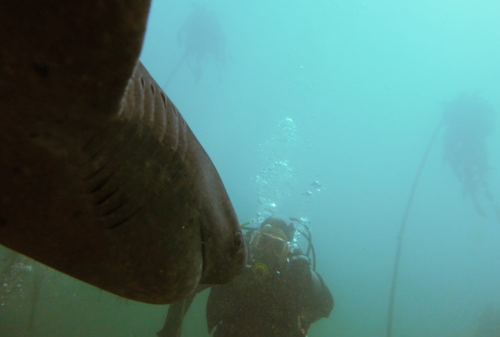 Diving with Cow Sharks in Cape Town