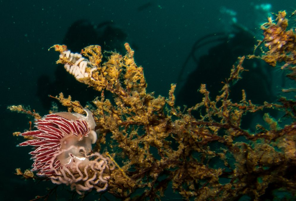 Nudibranchs – Cape Town