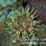 violet Spotted anemone(Anthostella stephensoni)