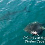 White Shark diving & Whale Watching