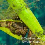 Marico oog hiding crab