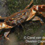 Marico oog crab