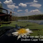 Marico Oog water Lily