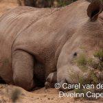 Aquila Private Game reserve Rhino Cow