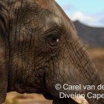 Aquila Private Game reserve - Elephant